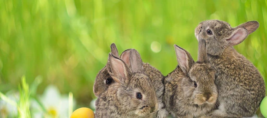 Surviving Bunnies in a Litter