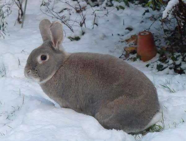 Picture of a Perlfee Rabbit