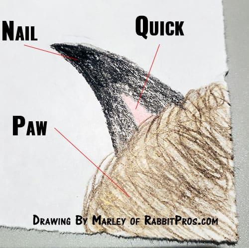 Drawing of a rabbits toe nail