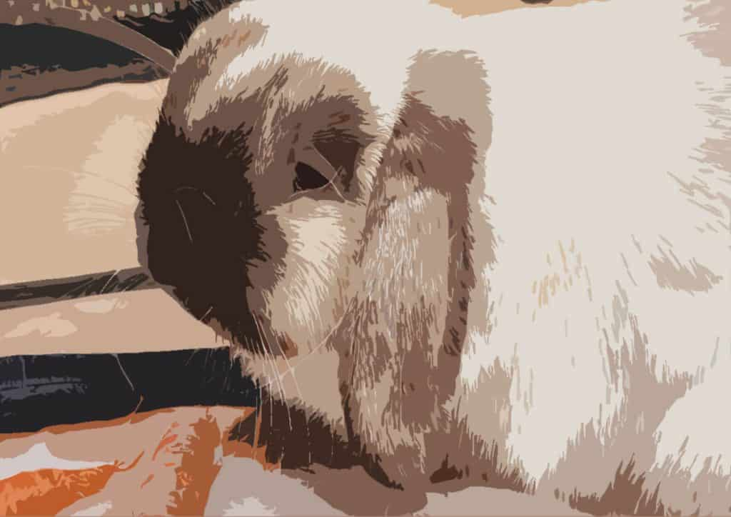 Image of an Old Holland Lop Rabbit
