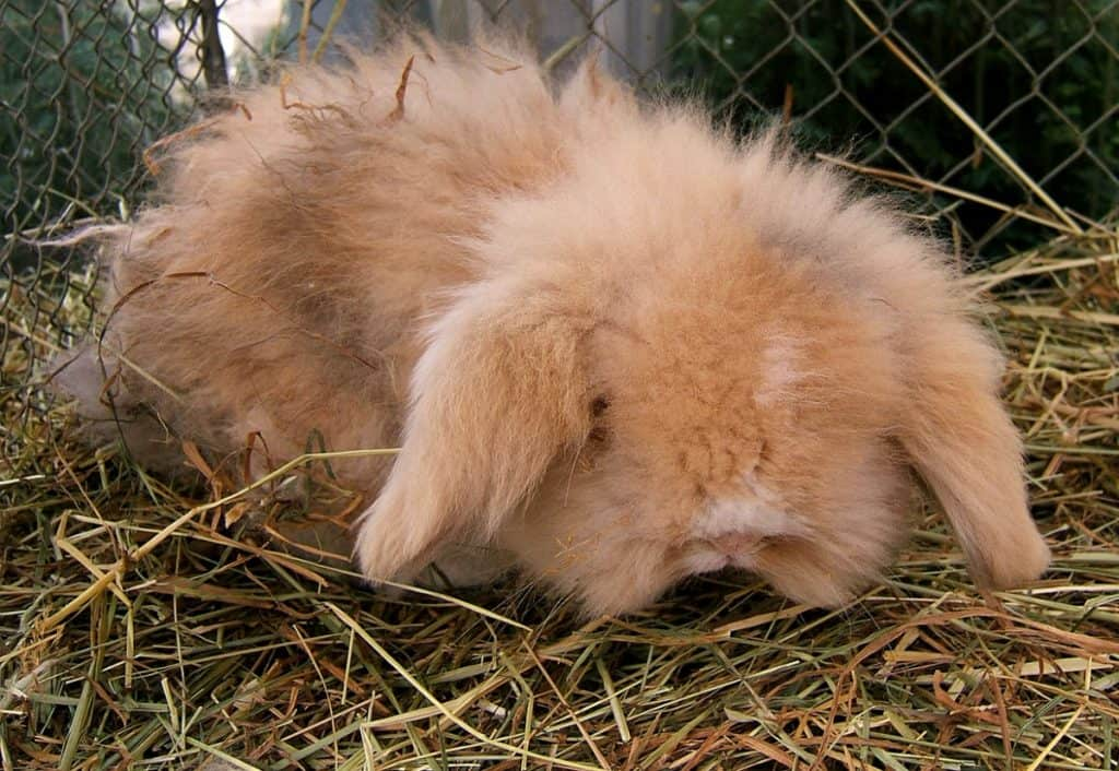 Dwarf Teddy Rabbit