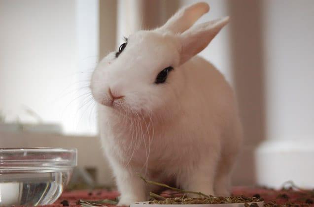 Image of a Cute Hotot Rabbit