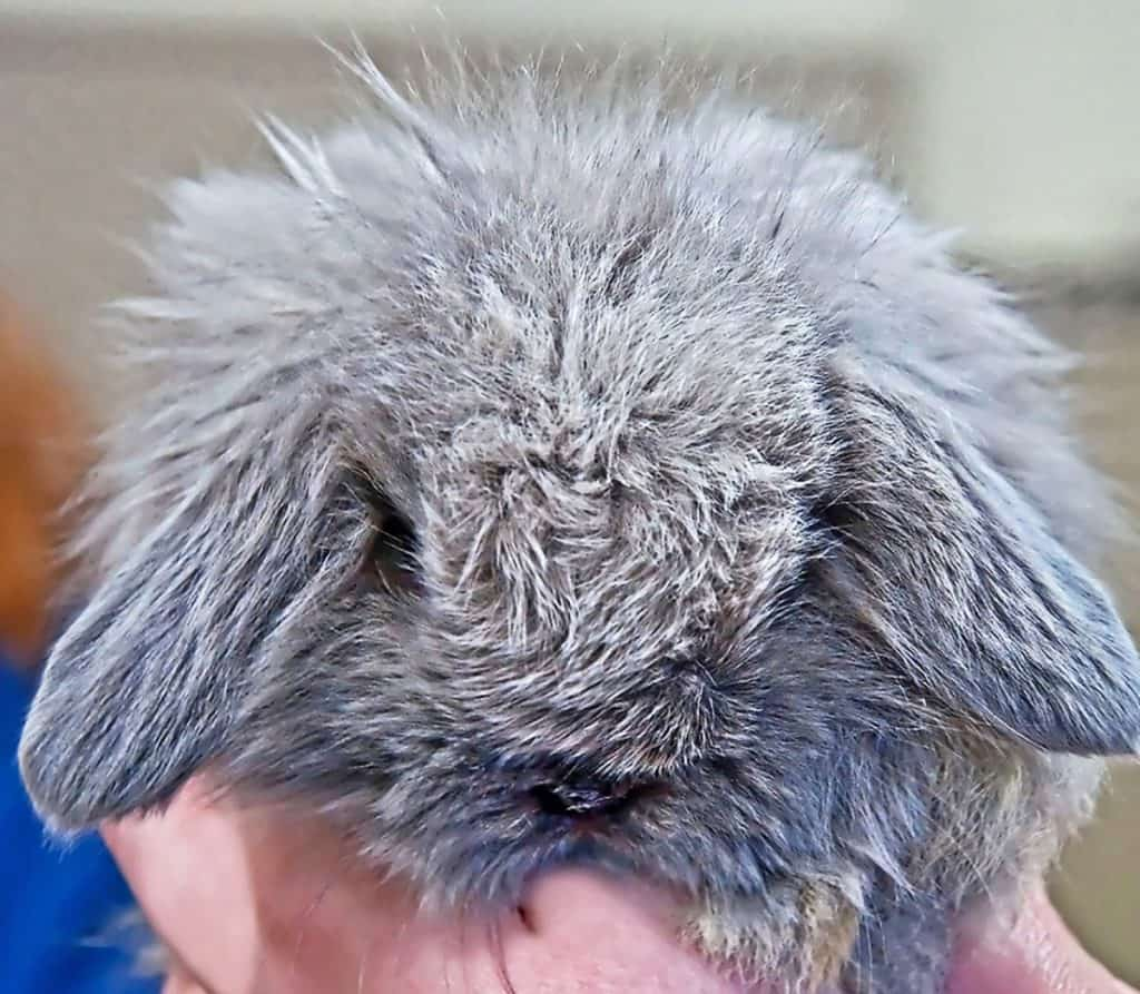 Picture Of American Fuzzy Lop Bunny