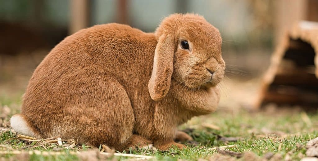 Image of Holland Lop With Dewlap