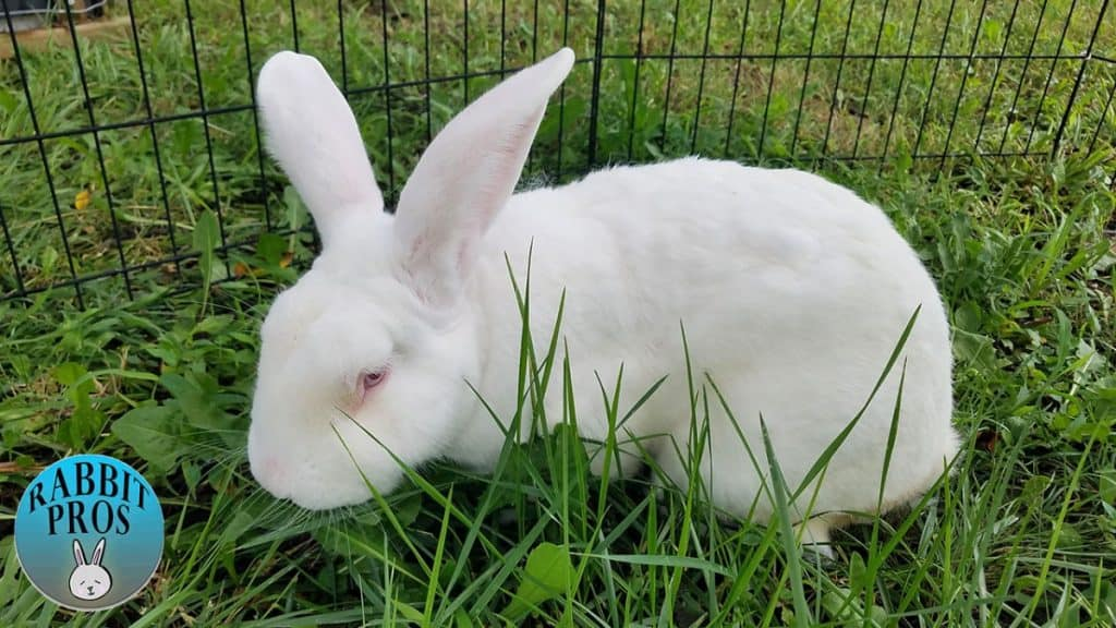 Image of a New Zealand White Rabbit