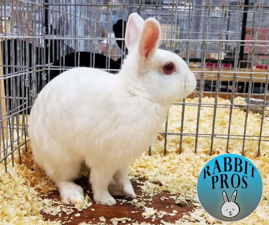 Image of Polish Rabbit Breed