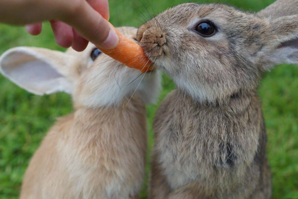 Image of two rabbits biting a carrot
