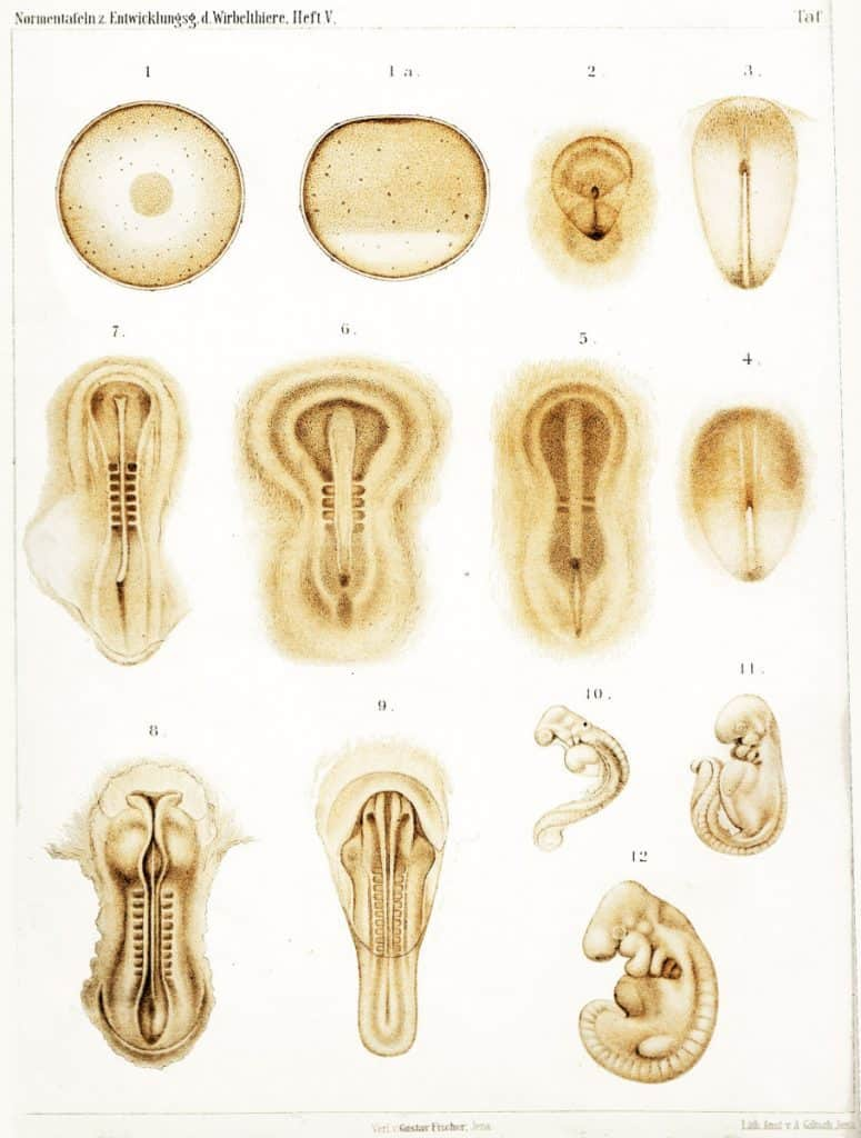 1905 Image Plate Showing The Development of a Rabbit Embryo from day 1 to day 12.