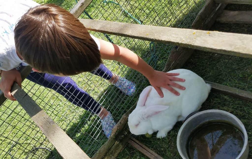 New Zealand White Rabbit Living Outdoors