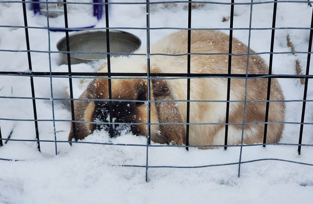 Image of pet rabbit outside in the snow