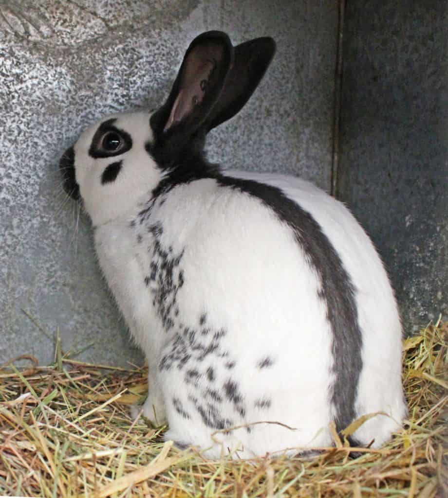 Picture of English Spot Rabbit