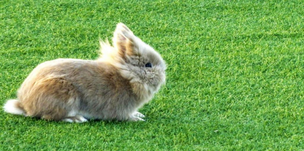 Dwarf Rabbit - Holland Lop Rabbit