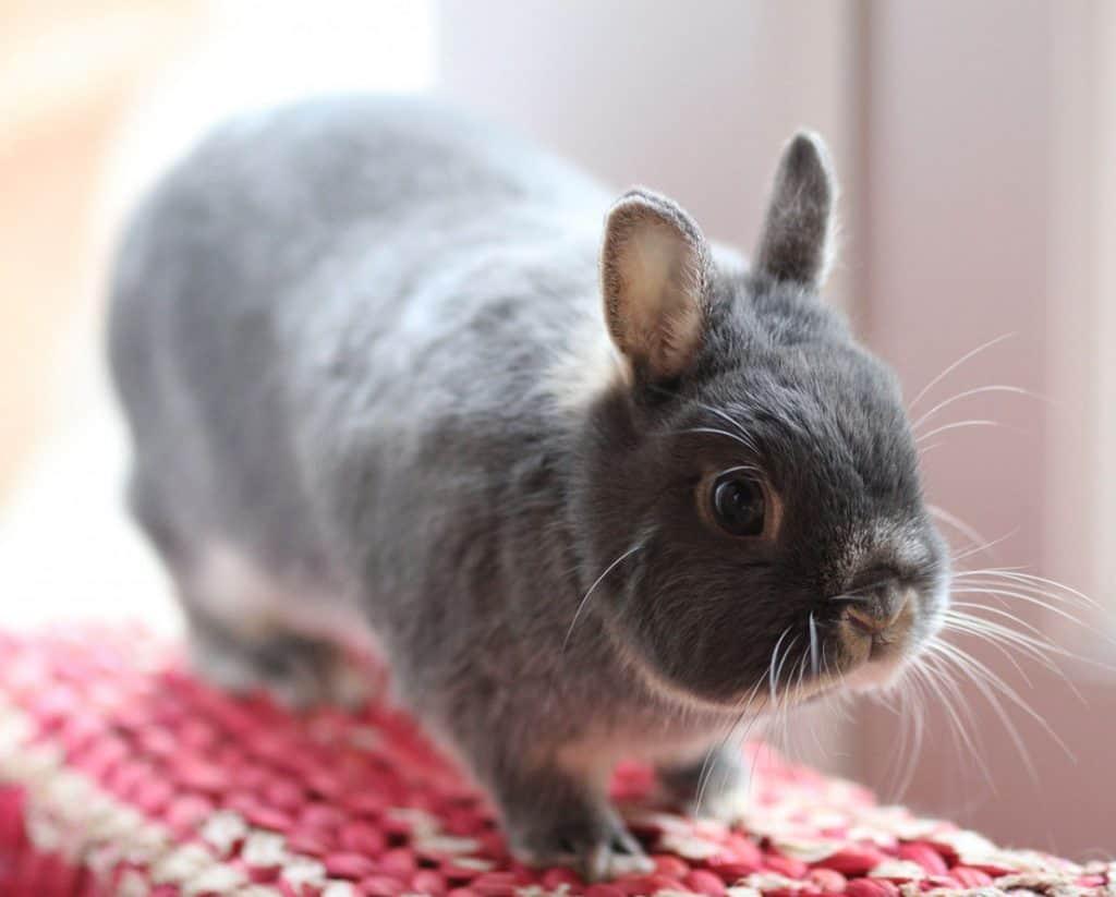 Netherland Dwarf Rabbit Is The Smallest Rabbit Breed