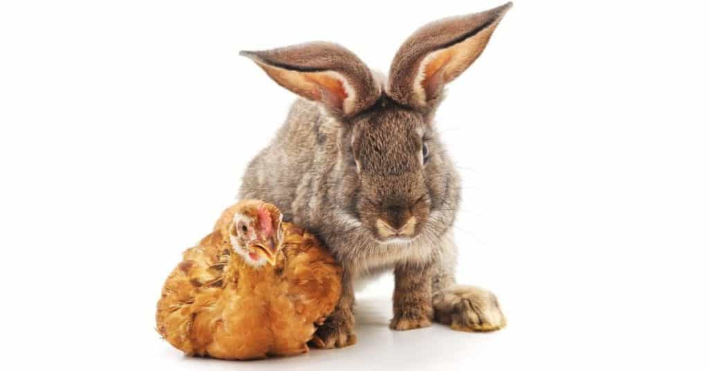 Rabbit and chicken together