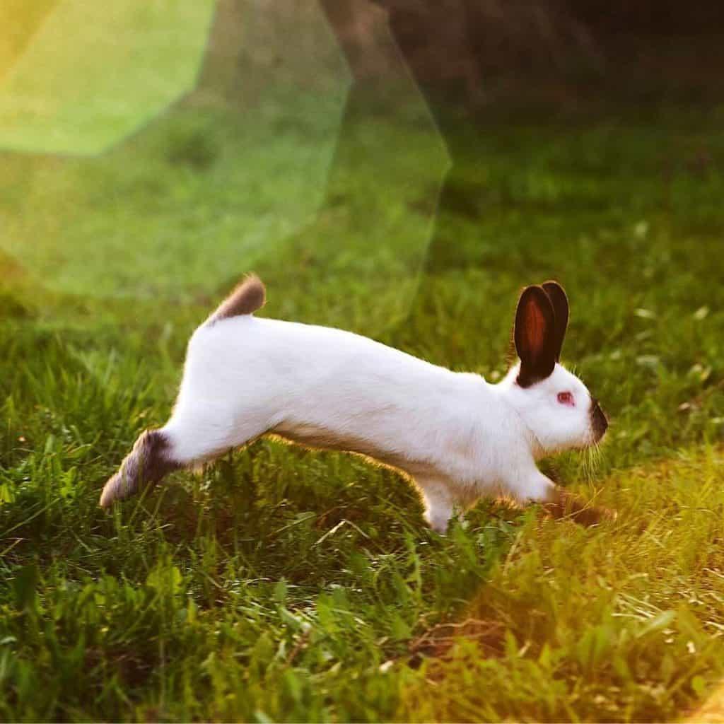 Rabbit Binkying