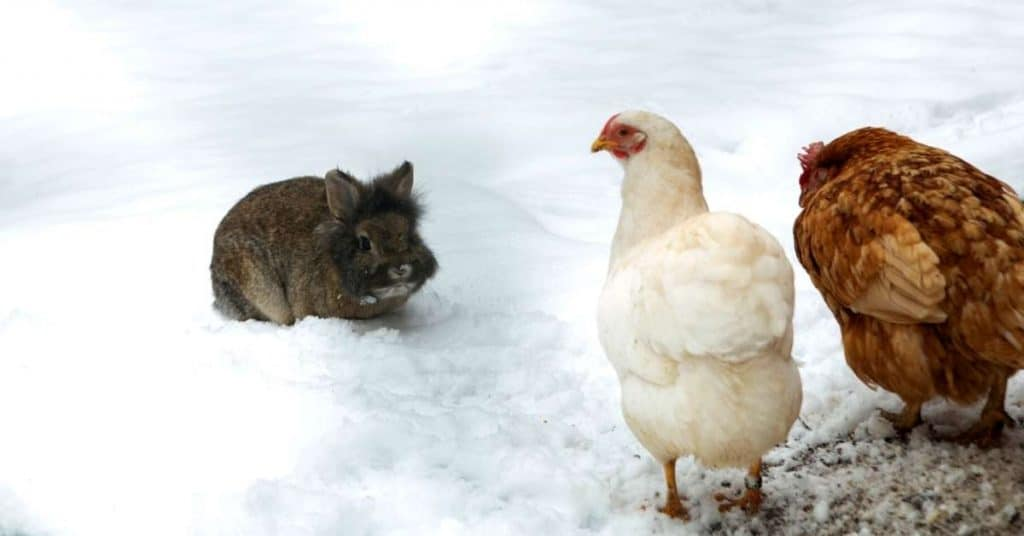 Rabbit with chickens in the snow